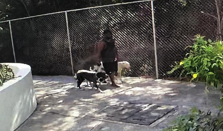 Una cámara captó al dueño de los perros cuando los paseaba. Cortesía