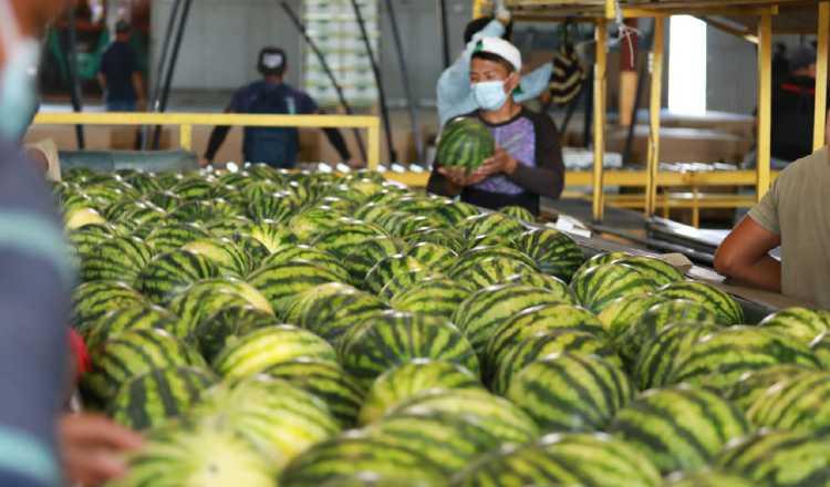En 2020 Estrada Company S.A., cosechó unas 3,876 toneladas de sandía para exportación, según indicó su Subadministrador, Eris Pérez. Cortesía