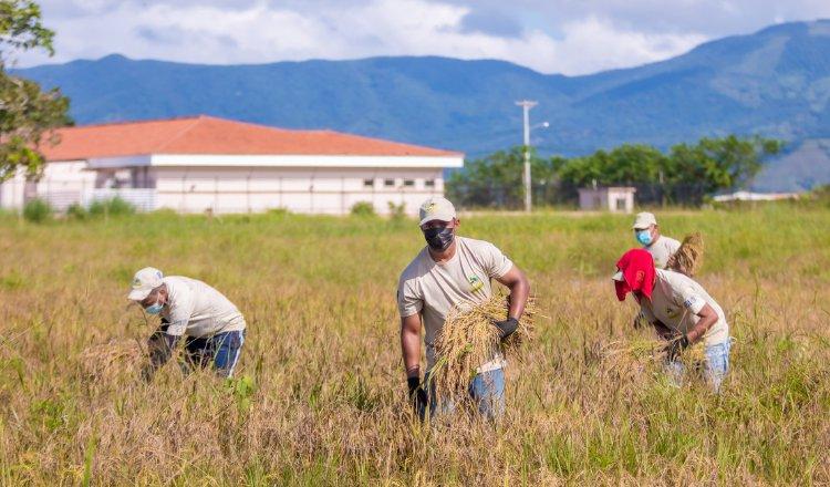 En La Joya, complejo en el que se ubica casi el 60% de la población penitenciaria del país, detenidos se dedican a la cosecha de arroz. Cortesía