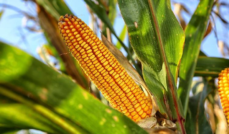 El maíz en la historia colonial y republicana.  Pixabay
