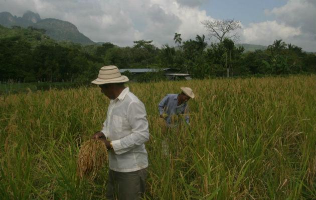La deuda a los productores de arroz asciende a $20 millones. /Archivo