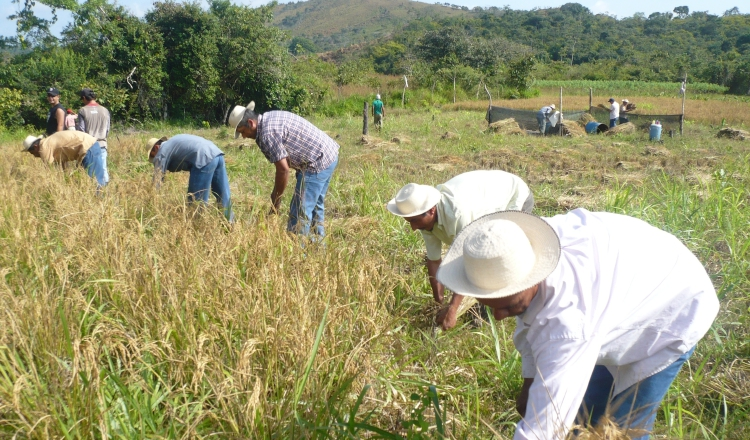 Autosuficiencia en arroz, una meta lejos de lograr   Panamá América