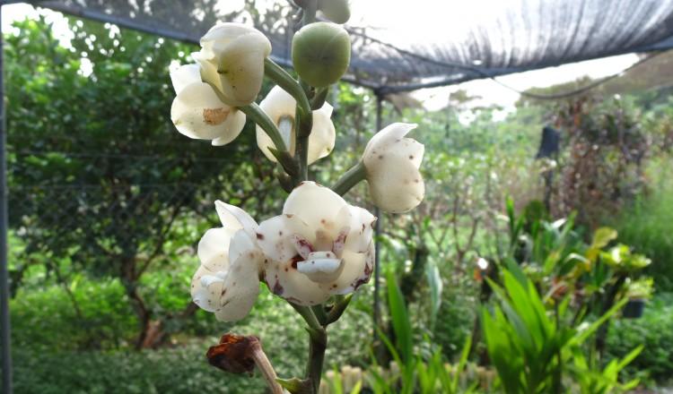 Fertilizan \'in vitro\' la Flor del Espíritu Santo para su ...