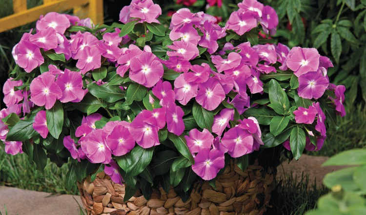 Flores para plantar en la estación seca | Panamá América