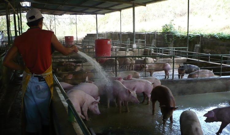 La baja en la demanda, falta de mercado y la desaceleración económica están afectando la producción de cerdos en el país. /Foto Archivo