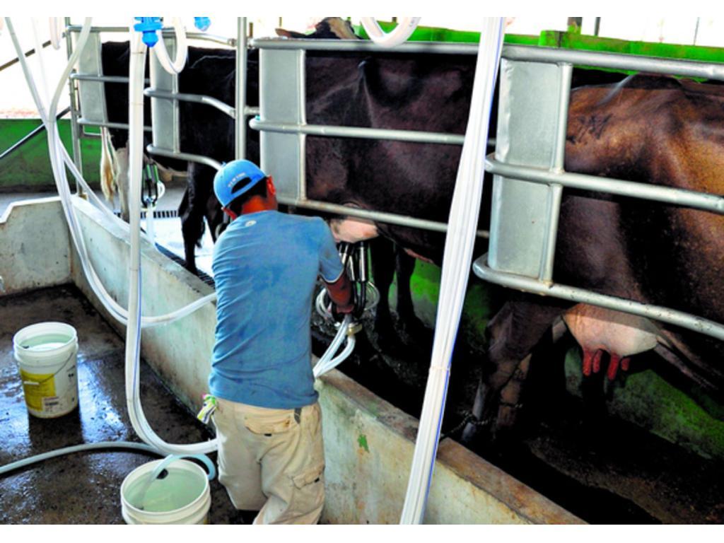 Hay un déficit de 100 millones de litros de leche en el país. Foto/Archivo