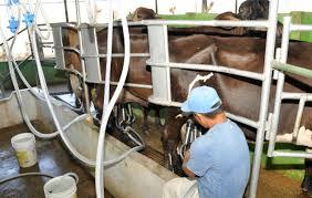 La producción local es de 105 millones de litros de leches.