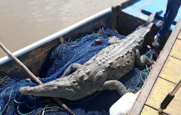 El animal anfibio murió dentro de las redes.