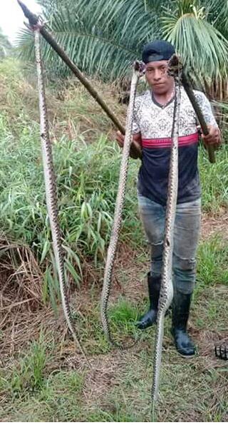 Los pobladores de Aserrío de Gariche, han optado por matar a las serpientes por su alto grado de peligrosidad. Foto/José Vásquez
