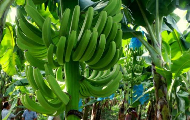 El hongo Fusarium Raza 4 Tropical (Foc R4T) ya ha sido detectado en Colombia.