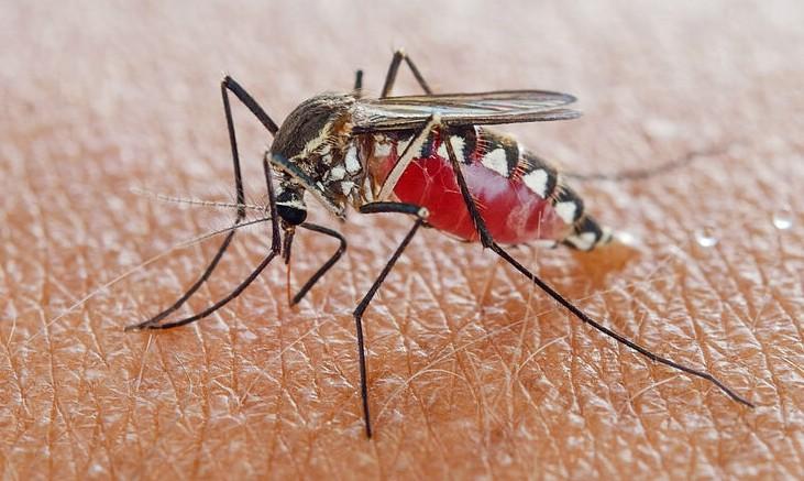 El mosquito Aedes aegypti es el principal transmisor del dengue.