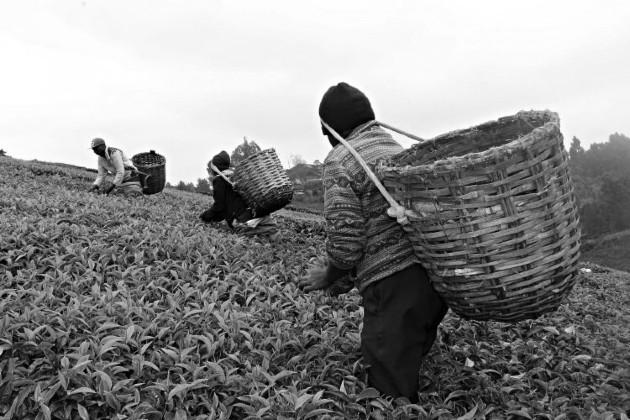 Pequeños productores de té luchan contra los efectos del cambio climático sobre sus cultivos. Foto: EFE.