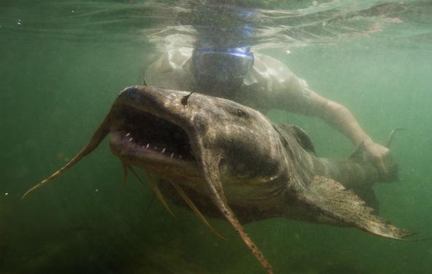 El bagre diablo gigante. Un estudio halló que la megafauna ha caído 88 % a nivel mundial en años recientes. Foto / Zeb Hogan, UNR Global Water Center.