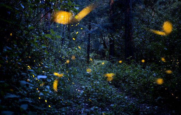 Las luciérnagas peligran por contaminación de luz y otras amenazas. Foto / Hilda Rios/EPA, vía Shutterstock.