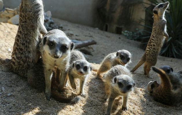 Las suricatas usan suaves maullidos para indicar a otras en el grupo que quieren ir a otra área. Foto / Miguel A. Lopes/EPA, vÍa Shutterstock.