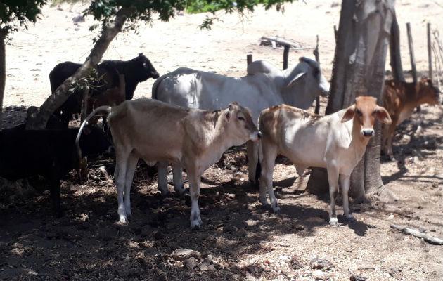 Se continúa transportando ganado que fue adquirido por el Gobierno, a los mataderos autorizados. Fotos: Archivo/Ilustrativa.