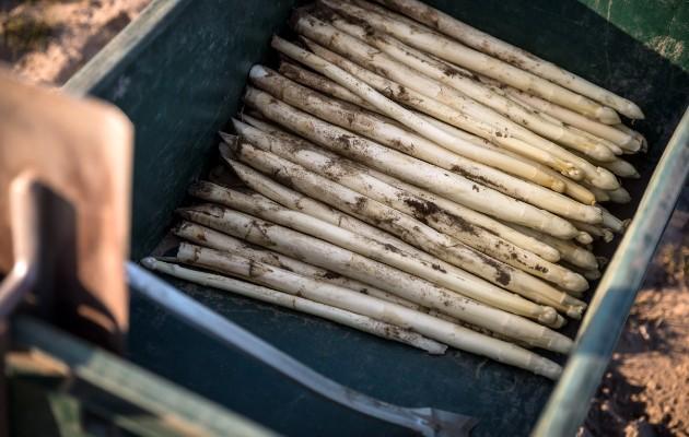 """El espárrago celebrado en Alemania como """"oro blanco"""" se pudrirá de no haber trabajadores agrícolas. Foto / Gordon Welters para The New York Times."""