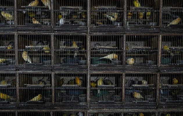 El mercado Pramuka en Yakarta es el mercado de aves más grande en el sureste de Asia. Foto / Ulet Ifansasti para The New York Times.