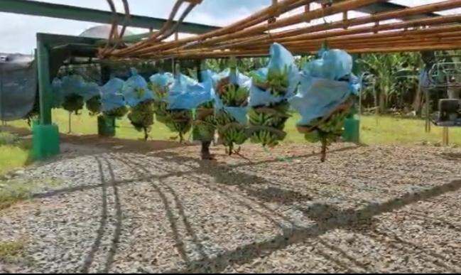 Banapiña, exporta 7 contenedores diarios de banano hacia diferentes mercados internacionales lo que representa un aporte significativo a la economía del distrito de Barú y del país.