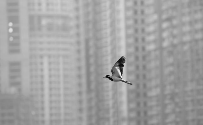 ¿La pandemia de la COVID-19 es el bien o el mal? Producto de las cuarentenas, muchas especies han retornado a las ciudades, como esta ave que vuela sobre la ciudad de Nueva Delhi, India. Foto: EFE.
