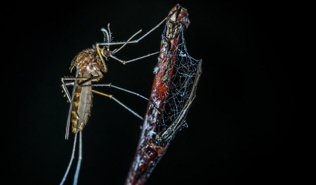 El mosquito transmite varias enfermedades. Foto: Ilustrativa / Pixabay
