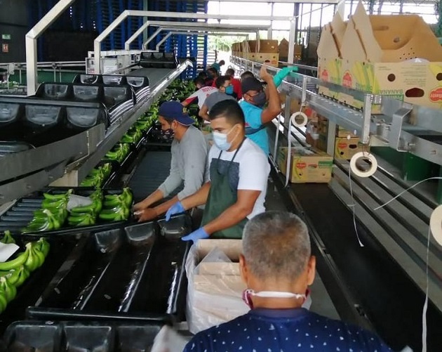Entre enero y julio de este año, Panamá había exportado un total de 10.9 millones de cajas de banano correspondientes a las empresas Banapiña, Chiquita Panamá y Coobana. Foto/Cortesía
