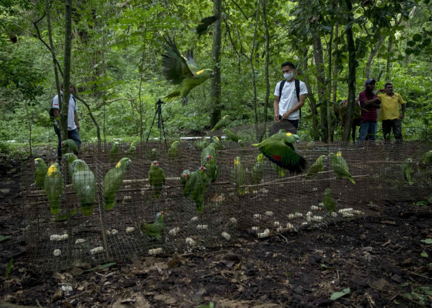 Varias loras vuelan tras ser liberadas en su hábitat natural en Chinandega (Nicaragua). Fotos: EFE..
