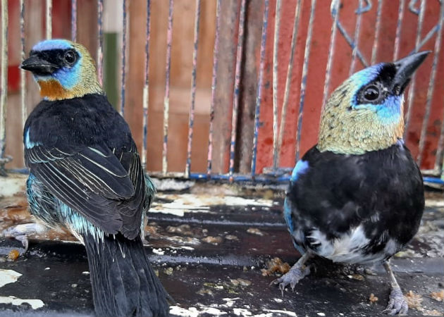Aves de diferentes especies estaban en cautiverio en la vivienda. Fotos: Mayra Madrid.
