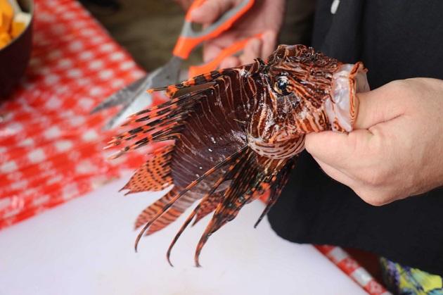 El pez León es capaz de devorar cualquier especie marina. Foto cortesía Arap