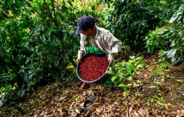 En Chiriquí, hay unas 3 mil 209 fincas de café y una producción aproximada de 160 mil quintales del rubro, de los cuales 50 mil son para exportación.
