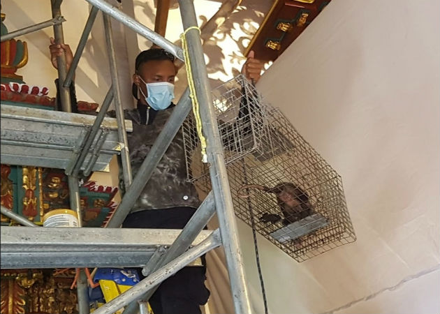 Técnicos de MiAmbiente instalaron una trampa que permitió atrapar al animal y sus crías. Foto: Thays Domínguez.