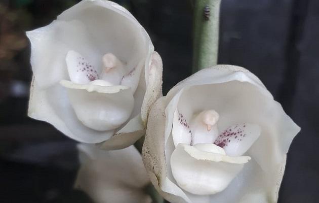 La Flor del Espíritu Santo fue designada como Flor Nacional según Ley 46 del 21 de octubre de 1980.