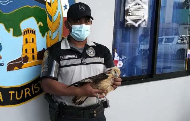 El águila será devuelta a su hábitat natural. Foto: Diómedes Sánchez S.