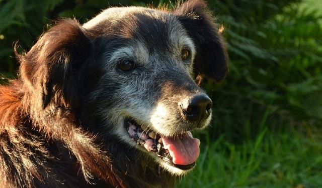 En el caso de los perros adultos mayores deben estar anuentes a que ellos no ven bien. Foto: Ilustrativa / Pixabay
