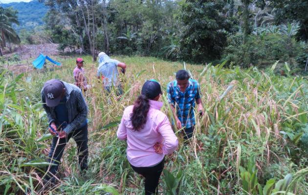 Parte de esta tarea de selección de semilla ya es realizada por los propios agricultores. Foto: Eric A. Montenegro.