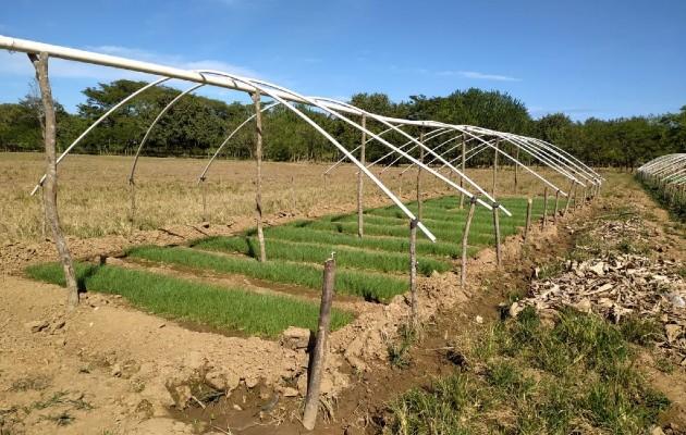 La zona cultivada representaría una producción superior a los 100 quintales, informó el director Regional del Ministerio de Desarrollo Agropecuario (Mida), Juan de Dios Domínguez.