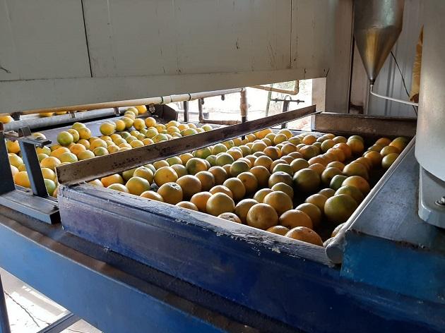 Este año 2021, ya se tiene programado el envió de los 15 contenedores, los cuales cada uno lleva 20 pallets, con 70 cajas cada uno, a razón de 80 a 90 naranjas por caja. Foto/Cortesía