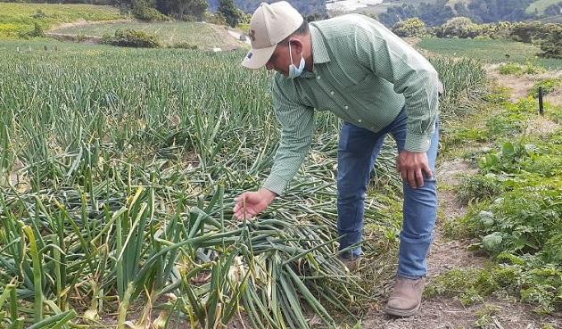 José Araúz, asegura que la cebolla nacional es de alta calidad. Aurelio Martínez