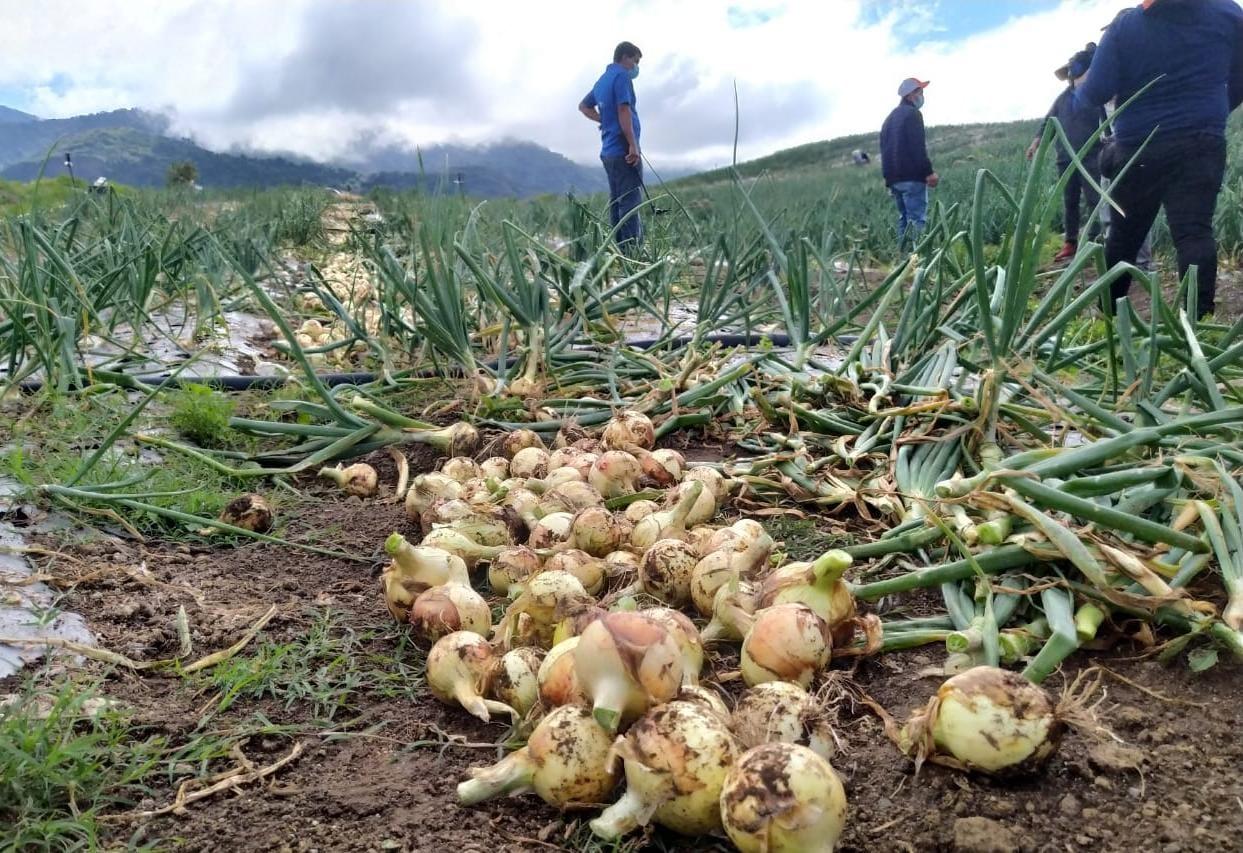 Pese a la pandemia, los productores no han dejado de sembrar en Chiriquí. Foto: José Vásquez