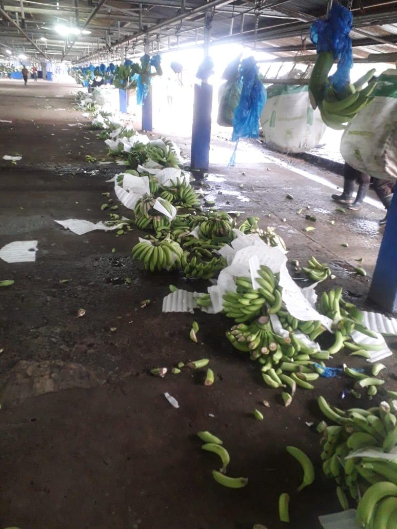 Estado en que quedaron los racimos de banano en la empacadora. Foto:Cortesía