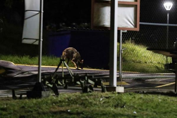 Un coyote merodea la madrugada de hoy por las zonas verdes de una universidad en la provincia de Cartago, al este de San José (Costa Rica).