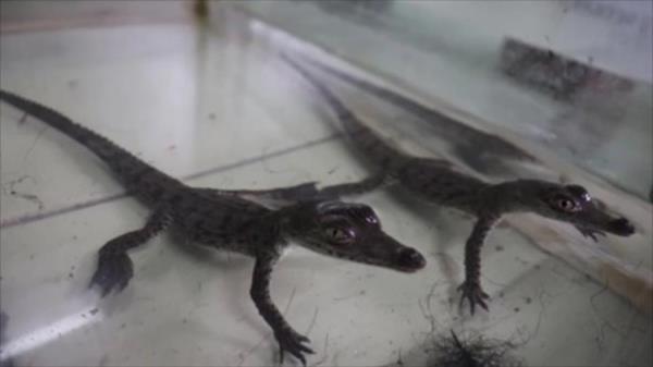 Los cocodrilos nacidos este mes son hijos del único macho de la especie en el zoológico, llamado Coco