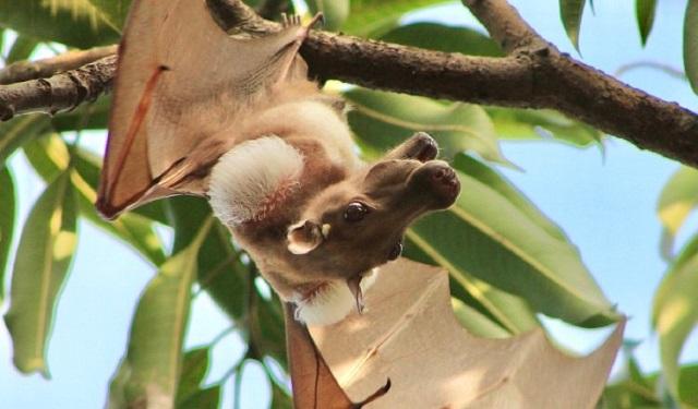 Un murciélago frugívoro macho con parches en los hombros. Foto: Kofi Amposah-Mensah