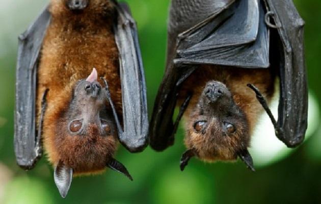 Los murciélagos portan decenas de virus.