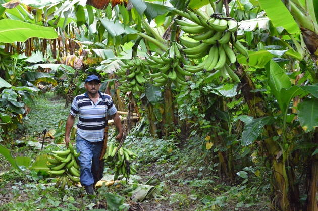 En Latinoamérica, por el momento solo se ha detectado la presencia del hongo en el norte de Colombia. EFE