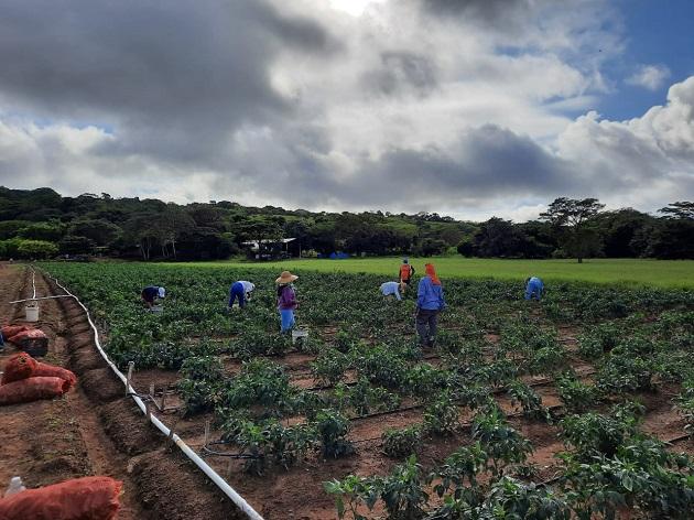 El sector agropecuario creció un 3% el año pasado en medio de la crisis de la pandemia, según datos de la Contraloría General de la República. Foto/Cortesía