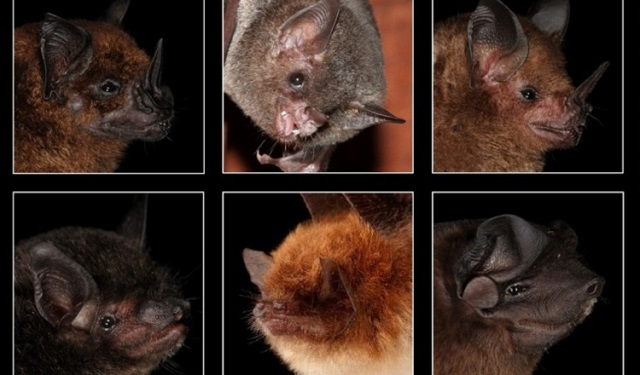 Los científicos estudiaron las capacidades auditivas de unas 27 especies de murciélagos. Foto: MT: Marco Tschapka; MK: Mirjam Knörnschild; MS: Michael Stifter; HS: Hans Schneider