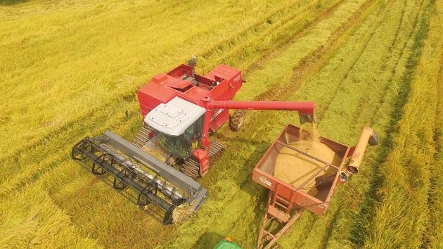 El quintal de arroz húmedo y sucio, se le paga al productor a razón de $24.50 puesto en el molino. Foto/Cortesía