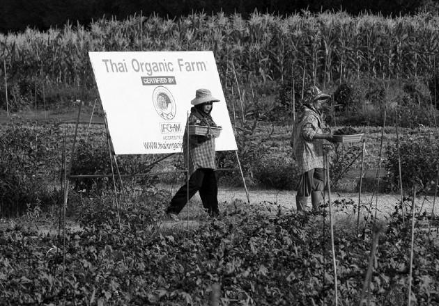 Una empresa de agricultura orgánica en Tailandia. Para el productor panameño, la falta de apoyo es el abismo que lo separa de un nivel productivo eficiente, sano y sostenible. Foto: EFE.