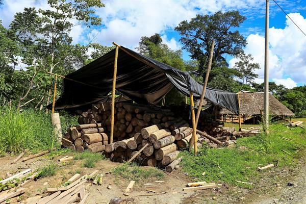 Comerciantes irregulares de madera de balsa mientras cargan troncos en un camión, en Río Villano, provincia de Pastaza (Ecuador).